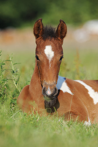 HOR 02 SS0177 01 © Kimball Stock Mangalarga Marchador Foal Laying In Grass