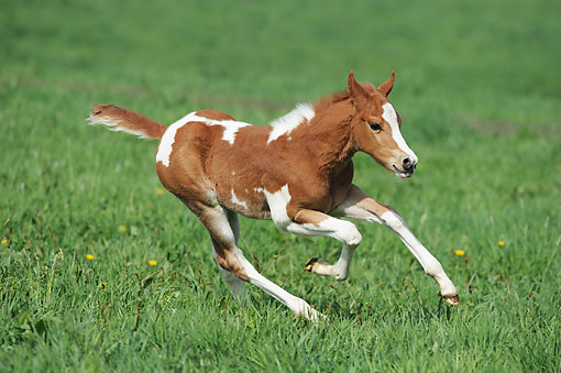 HOR 02 SS0181 01 © Kimball Stock Paint Horse Foal Playing In Pasture