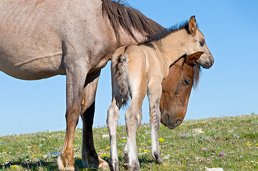 HOR 02 TL0009 01 © Kimball Stock Wild Horse Mare Nuzzling Colt On Grass Field