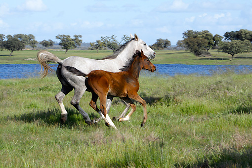 HOR 02 WF0001 01 © Kimball Stock Arabian Horse Mare Galloping With Bay Foal Through Meadow