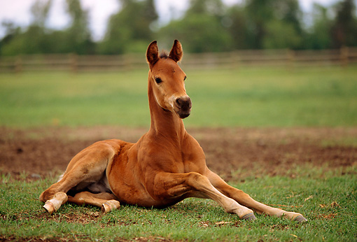 HOR 02 DB0002 01 © Kimball Stock Quarter Horse Foal Laying On Grass