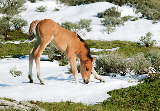 HOR 02 KH0009 01 © Kimball Stock Dun Mustang Foal Standing In Field Sniffing Snow