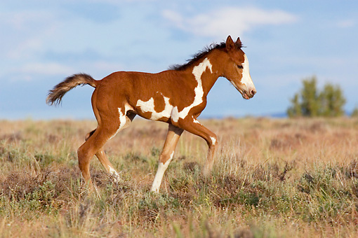 HOR 02 KH0015 01 © Kimball Stock Bay Pinto Mustang Foal Trotting In Field