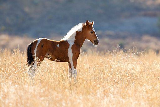 HOR 02 KH0016 01 © Kimball Stock Bay Pinto Mustang Foal Standing In Field