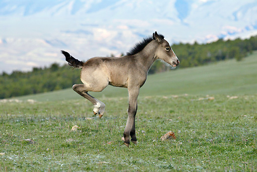 HOR 02 KH0018 01 © Kimball Stock Grullo Mustang Foal Bucking In Field