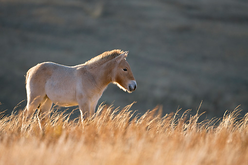 HOR 02 KH0023 01 © Kimball Stock Przewalski's Horse Foal Standing In Field Mongolia