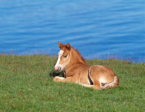 HOR 02 KH0024 01 © Kimball Stock Icelandic Horse Foal Laying On Grass By Water