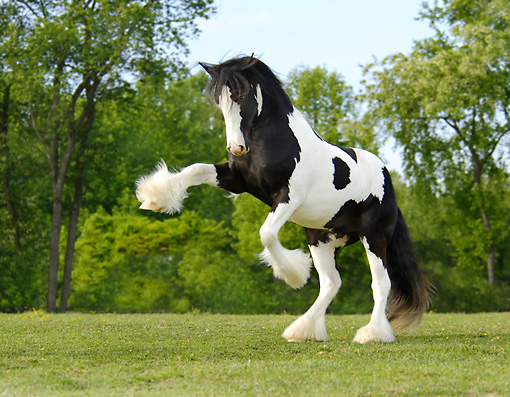 HOR 02 MB0003 01 © Kimball Stock Gypsy Vanner Horse Colt Rearing In Pasture
