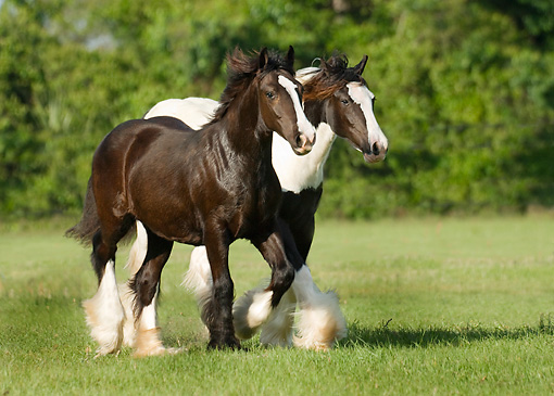 HOR 02 MB0005 01 © Kimball Stock Two Gypsy Vanner Horse Fillies Trotting In Pasture