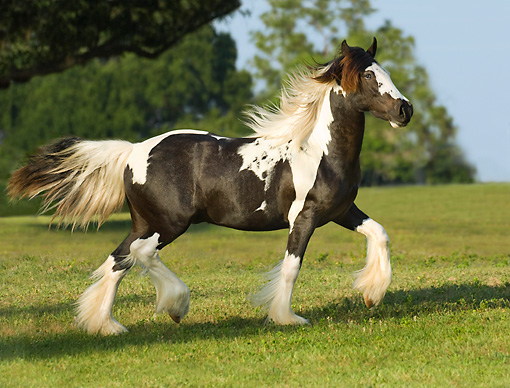 HOR 02 MB0006 01 © Kimball Stock Gypsy Vanner Horse Filly Trotting In Pasture