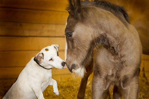 HOR 02 MB0011 01 © Kimball Stock Jack Russell Terrier Licking Nose Of Gypsy Vanner Foal