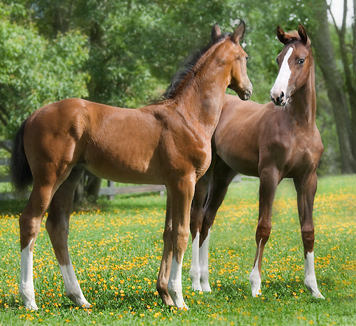 HOR 02 MB0014 01 © Kimball Stock Two Oldenburg Foals Standing In Pasture