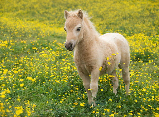HOR 02 MB0017 01 © Kimball Stock Miniature Horse Foal Standing In Pasture Of Yellow Flowers