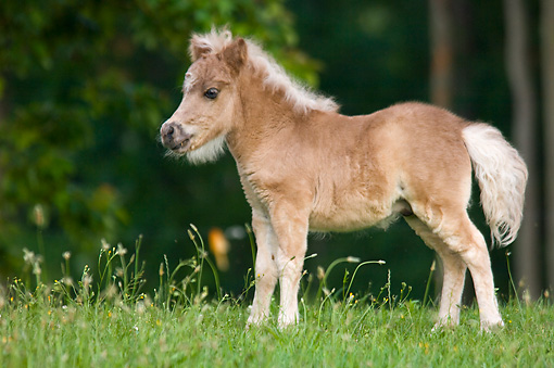 HOR 02 MB0018 01 © Kimball Stock Miniature Horse Foal Standing In Pasture