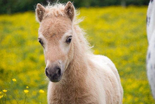 HOR 02 MB0020 01 © Kimball Stock Miniature Horse Foal Standing In Pasture