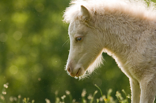 HOR 02 MB0022 01 © Kimball Stock Head Shot Of Miniature Horse Foal Standing In Pasture