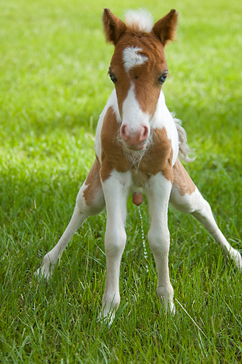 HOR 02 MB0026 01 © Kimball Stock Miniature Horse Foal Standing In Pasture Urinating