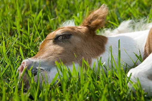 HOR 02 MB0029 01 © Kimball Stock Close-Up Of Miniature Horse Foal Sleeping In Pasture