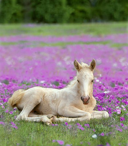 HOR 02 MB0030 01 © Kimball Stock Palomino Pony Foal Laying In Pasture Of Purple Flowers