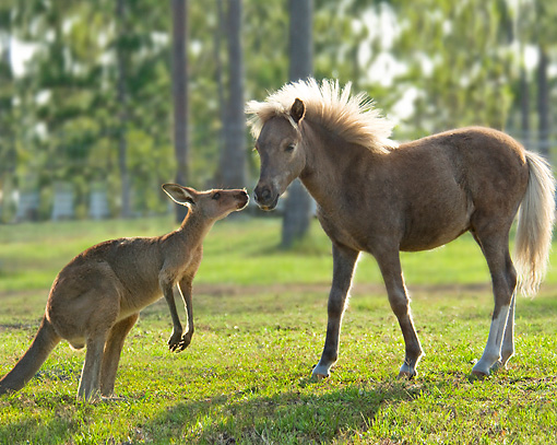 HOR 02 MB0032 01 © Kimball Stock Miniature Horse Foal Standing In Pasture With Kangaroo
