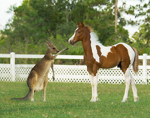 HOR 02 MB0033 01 © Kimball Stock Pinto Horse Foal Standing In Pasture With Kangaroo