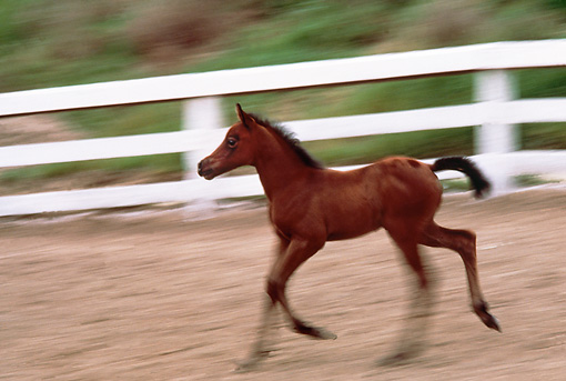 HOR 02 RK0024 02 © Kimball Stock Bay Arabian Foal Trotting In Paddock
