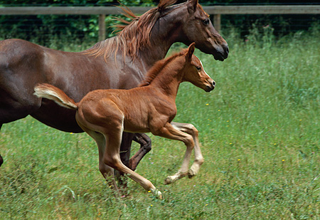 HOR 02 RK0036 03 © Kimball Stock Chestnut Foal Trotting Through Green Pasture With Mare