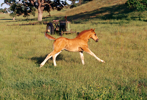 HOR 02 RK0054 11 © Kimball Stock Belgian Foal Galloping In Field By Old Rusty Tractor