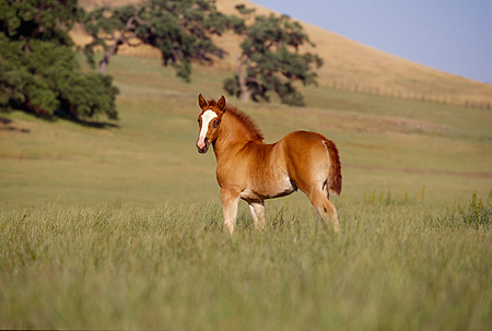 HOR 02 RK0055 12 © Kimball Stock Belgian Foal Standing On Green Pasture