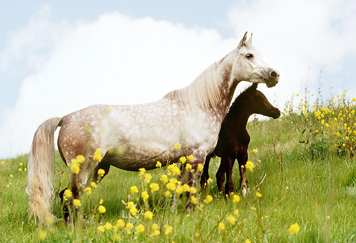 HOR 02 RK0104 01 © Kimball Stock Dapple Gray Arabian Mare And Colt Standing On Hillside By Yellow Flowers