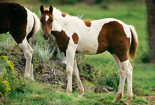 HOR 02 RK0113 01 © Kimball Stock Paint Horse Foal Standing On Pasture