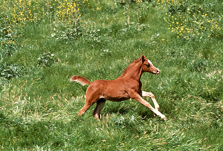 HOR 02 RK0157 01 © Kimball Stock Chestnut Arabian Foal Galloping Through Field With Yellow Flowers