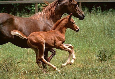 HOR 02 RK0191 01 © Kimball Stock Chestnut Arabian Mare And Foal Cantering In Field