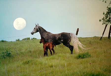 HOR 02 RK0243 02 © Kimball Stock Dapple Gray Arabian Mare With Bay Foal Standing In Tall Grass Hill Fence Full Moon