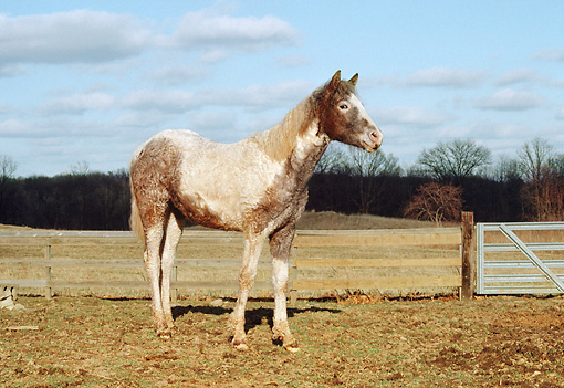 HOR 02 RS0001 01 © Kimball Stock Baskir Curly Yearling Standing In Pasture