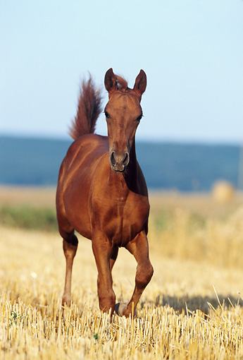 HOR 02 SS0018 01 © Kimball Stock Chestnut Paso Fino Foal Trotting In Pasture