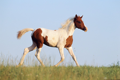 HOR 02 SS0019 01 © Kimball Stock Pinto Arabian Foal Trotting In Pasture