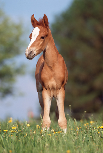 HOR 02 SS0020 01 © Kimball Stock Chestnut Mangalarga Foal Standing In Pasture
