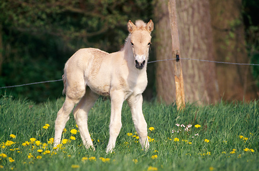 HOR 02 SS0022 01 © Kimball Stock Norwegian Fjord Foal Standing In Pasture