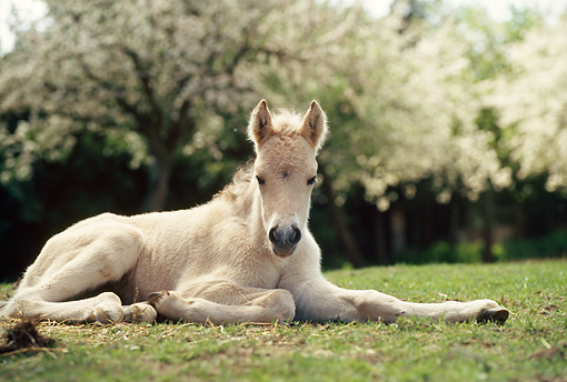 HOR 02 SS0023 01 © Kimball Stock Norwegian Fjord Foal Laying In Pasture