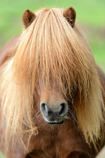 HOR 03 AC0009 01 © Kimball Stock Shetland Pony With Long Mane Portrait