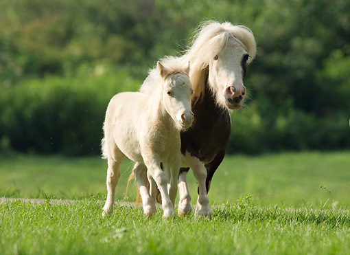 HOR 03 MB0016 01 © Kimball Stock Miniature Horse Mare And Foal Running In Pasture