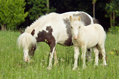 HOR 03 MB0017 01 © Kimball Stock Miniature Horse Mare And Foal Grazing In Pasture