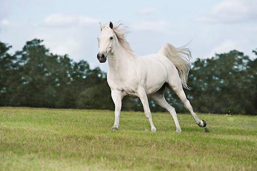 HOR 03 MB0020 01 © Kimball Stock Welsh Pony-Arabian Cross Cantering Through Pasture