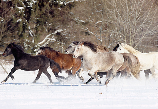 HOR 03 SS0003 01 © Kimball Stock Herd Of Connemara Ponies Running In Snow