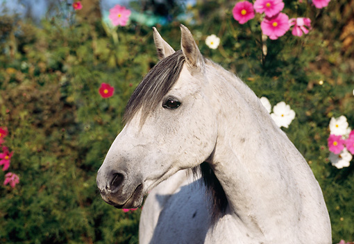HOR 03 SS0005 01 © Kimball Stock Close-Up Of Gray German Riding Pony By Pink Flowers