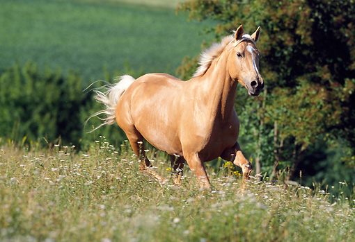HOR 03 SS0008 01 © Kimball Stock Palomino German Riding Pony Cantering In Pasture