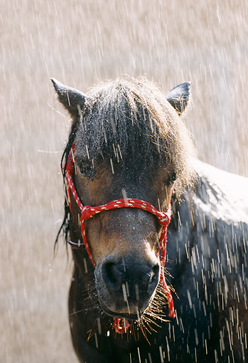 HOR 03 SS0012 01 © Kimball Stock Head Shot Of Shetland Pony Standing In Rain