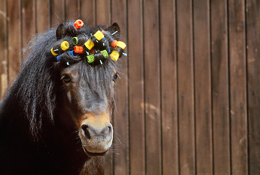 HOR 03 SS0013 01 © Kimball Stock Head Shot Of Shetland Pony With Curlers In Forelock