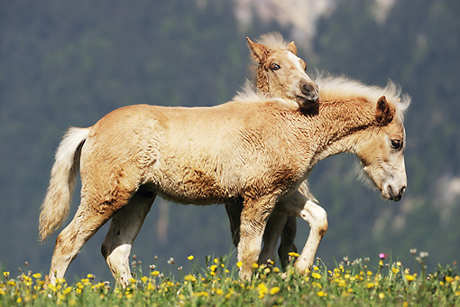 HOR 03 SS0024 01 © Kimball Stock Two Haflinger Foals Playing In Meadow With Yellow Flowers
